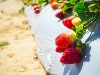 Some big fresh delicious looking strawberries in sunlight at a strawberry farm.