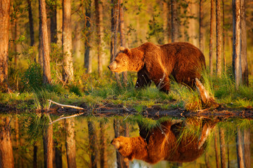 Sunset, morning light with big brown bear walking around lake in the morning light. Dangerous animal in nature forest and meadow habitat. Wildlife scene from Finland near Russian border. Fotomurales