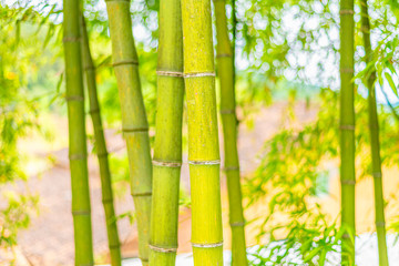 A close-up of yellow-green bamboo branches in bamboo forest