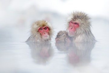 Tuinposter Aap Family in the spa water Monkey Japanese macaque, Macaca fuscata, red face portrait in the cold water with fog, animal in the nature habitat, Hokkaido, Japan. Wide angle lens photo with nature habitat.