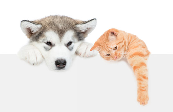 Alaskan malamute puppy and tabby cat over empty white banner. isolated on white background