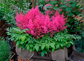 Close up of the Astilbe 'Jump and Jive' in a wooden container
