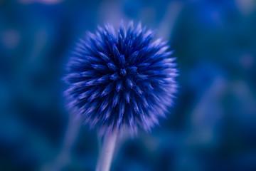 Flower art blue Echinops  macro picture