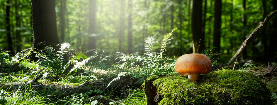 Mushroom in a green forest with autumn sun - landscape
