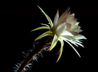 Wall Mural - White color with fluffy hairy of Cactus flower on black background