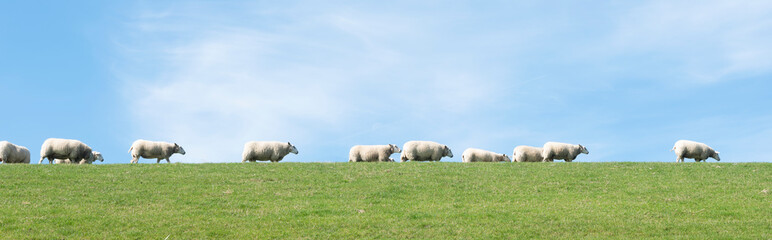 white sheep under blue sky on grassy dyke in dutch province of friesland