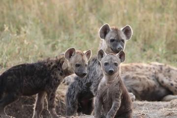 Fotobehang Hyena Spotted hyena cubs at the den, Masai Mara National Park, Kenya.