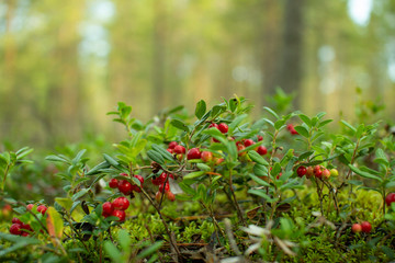 Cranberries in the woods.Ripe red cowberry grows in a pine forest on the moss.