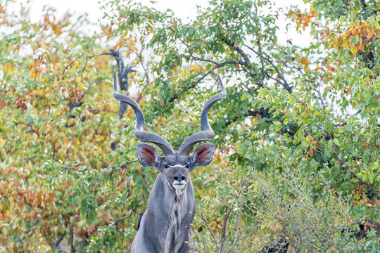 Greater kudu bull, Tragelaphus strepsiceros, looking at the camera