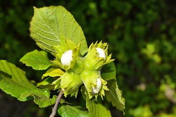 Hazelnut with green leaves on a hazel grove branch.