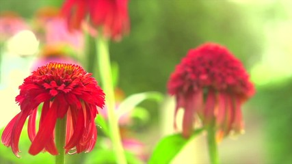 Fotoväggar - Echinacea flower blooming in a garden. Red Echinacea flowers close-up. Beautiful Flower bed. Landscape design. Alternative medicine plant. Slow motion 4K UHD video