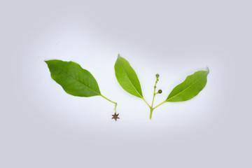 Santalum Album Sandalwood Leaves with Flower and Fruit Isolated