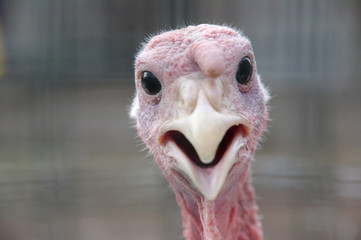 portrait of funny curious turkey