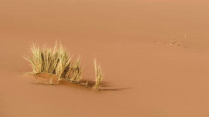 Grass in the red sand dunes of Sossusvlei, Namib-Naukluft National Park, Namibia