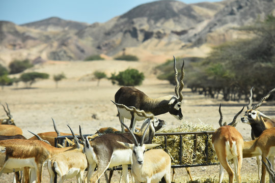 Una maestosa antilope comanda un gruppo di gazzelle a Sir Bani Yas Island