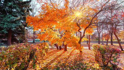 Spoed Foto op Canvas Baksteen Beautiful sunset alley of golden maple trees