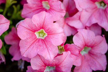Closeup shot of pink petunia flowers as background