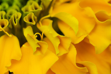 Macro shot background of green & yellow curvy petals