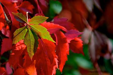 Virginis creeper leaf