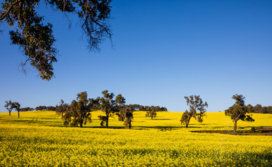 canola, perth, western australia, australia, toodyay, tree, flower, flowering, landscape, nature, field, sky, grass, circle, round, track, path, shadow, meadow, green, summer, trees, spring, forest, a