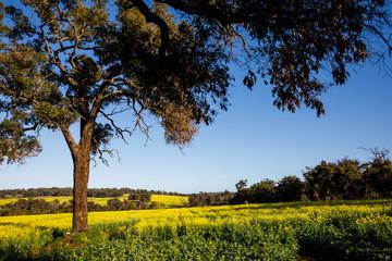 Eucalyptus Trees in Canola Fields in Toodyay, Western Australia