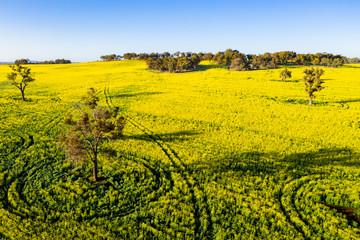Tracks in Flowering Canola Fields in Toodyay, Western Australia