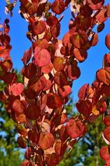 Foto auf Leinwand Braun Heart shaped tree leaves Cercidiphyllum japonicum