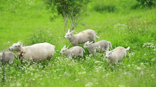 Norway  Domestic Mother Sheep And Lambs Running In Hilly