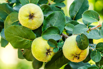 Mature fruits of yellow quince. Bunch of yellow quince fruits growing on the bush at countryside Wall mural