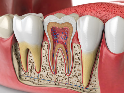 Human teeth anatomy. Cross section of  human tooth.