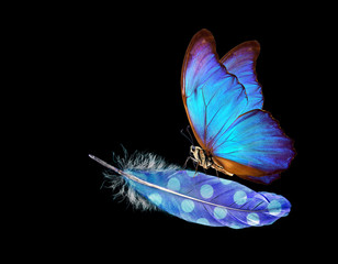 Lightness and weightlessness. Morpho blue beautiful butterfly on a blue bird feather. Bird feather isolated on black.