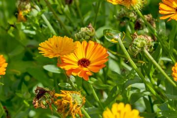 Orange Calendula flower on a field