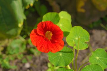 A close up of a red orange nasturtium flower