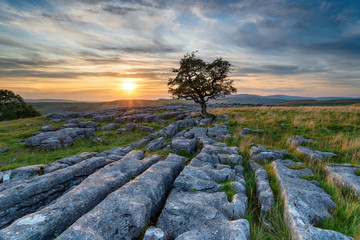 Wall Mural - Sunset over a lonely windswept Hawthorn tree on a limestone pavement
