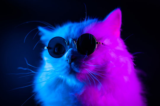 Stock video Portrait of white furry cat in fashion eyeglasses. Studio neon light. Luxurious domestic kitty in glasses poses on black background.
