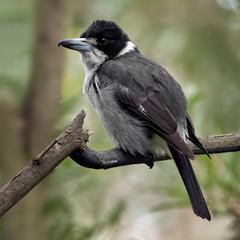Grey Butcherbird (Cracticus torquatus)