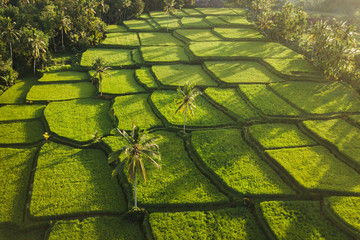 Garden Poster Rice fields Rice terraces hill in Ubud at sunrise, Bali Indonesia. Beautiful sun light and rays on field
