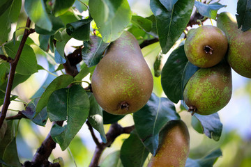 Summer pears growing on a tree