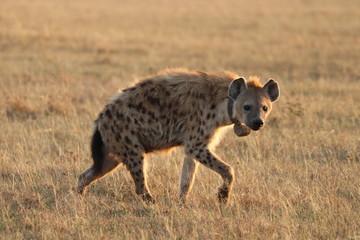 Fotobehang Hyena Spotted hyena with GPS collar walking, Masai Mara National Park, Kenya.