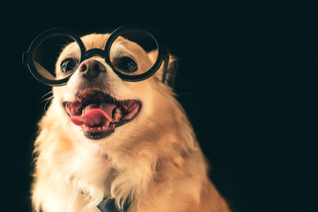 cute brown chihuahua dog wear round black glasses and neck tie nerd dog on black color background