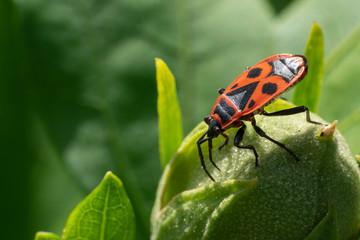 Firebug, Pyrrhocoris apterus