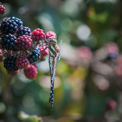 A square image of a Migrant Hawker dragonfly, Aeshna mixta, hanging on Bramble, Rubus friticosus, Dungeness, Kent, England.