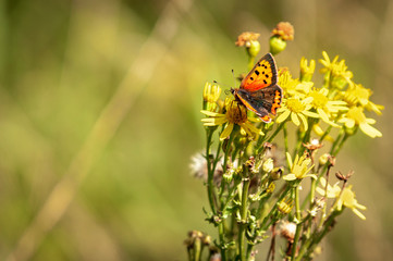 The Small Copper Butterfly, Lycaena phlaeas, nectaring on Ragwort,  Senecio jacobaea on Dungeness Nature Reserve in Kent, England.