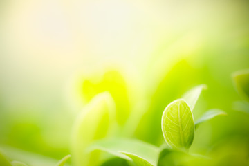 Closeup nature view of green leaf on blurred greenery background in garden with copy space using as background natural green plants landscape, ecology, fresh wallpaper concept. Wall mural