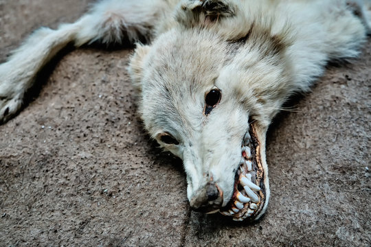 Terrible mouth of a dead wolf. Predator inspiring horror and fear. Head of a dead wolf is horror in black eyes.