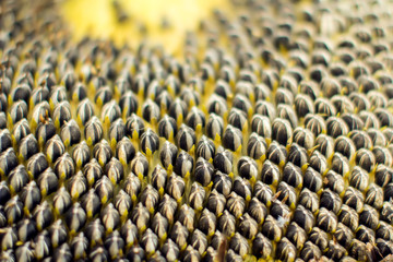 Sunflower seeds close up shot. Healthy and organic food concept