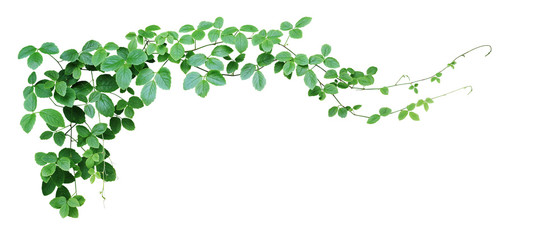 Foto auf Leinwand Pflanzen Bush grape or three-leaved wild vine cayratia (Cayratia trifolia) liana ivy plant bush, nature frame jungle border isolated on white background, clipping path included.