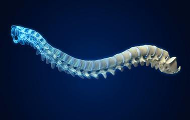 Human spine with intervertebral disks, medically 3D illustration