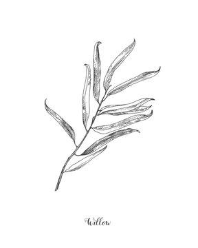 Willow branch line art vector on white background. Willow leaf Botanical Illustration. willow leaf vector illustration