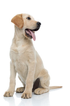 happy little labrador retriever puppy dog panting and looking away